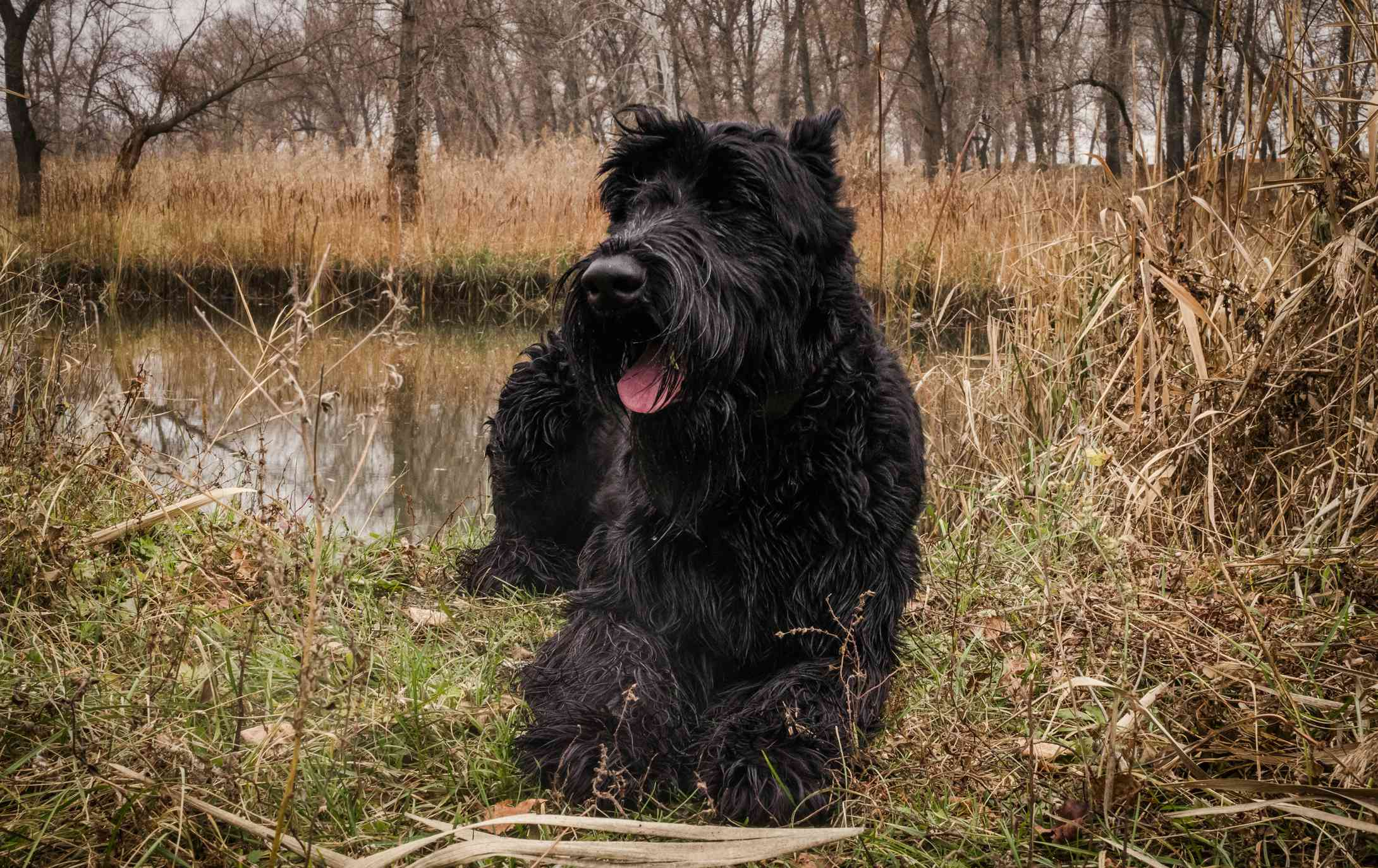Giant schnauzer laying by river
