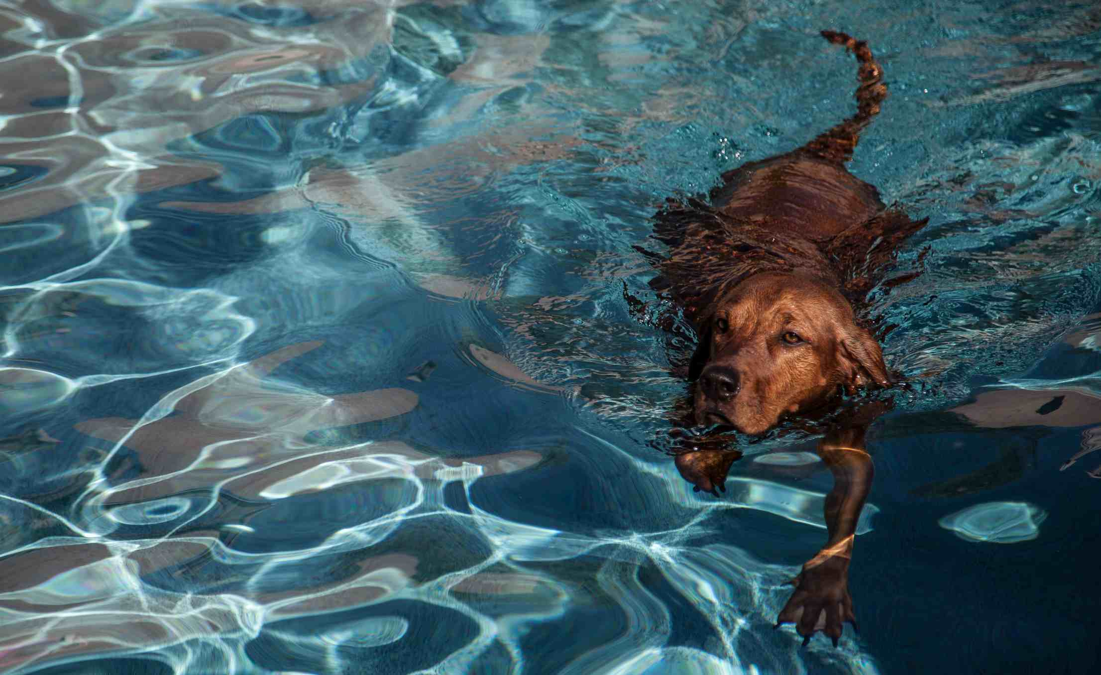 Redbone Coonhound swimming