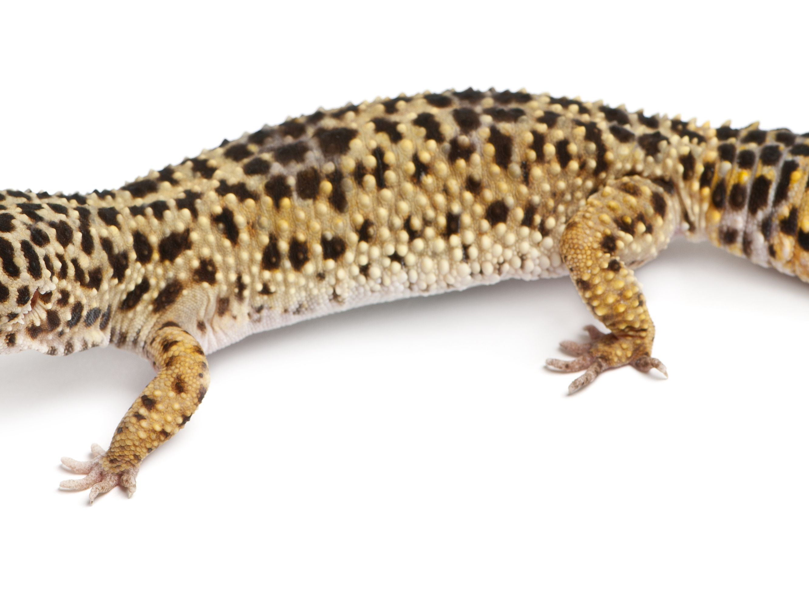 What To Do If Your Leopard Gecko Has Armpit Bubbles