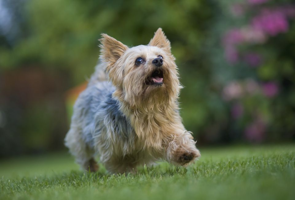 Yorkshire terrier running on lawn