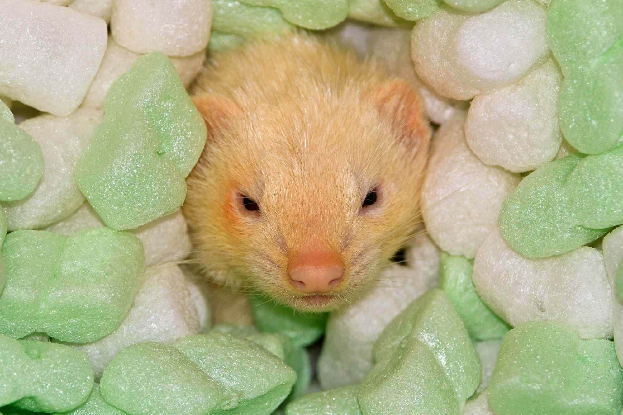 Ferret in packing peanuts