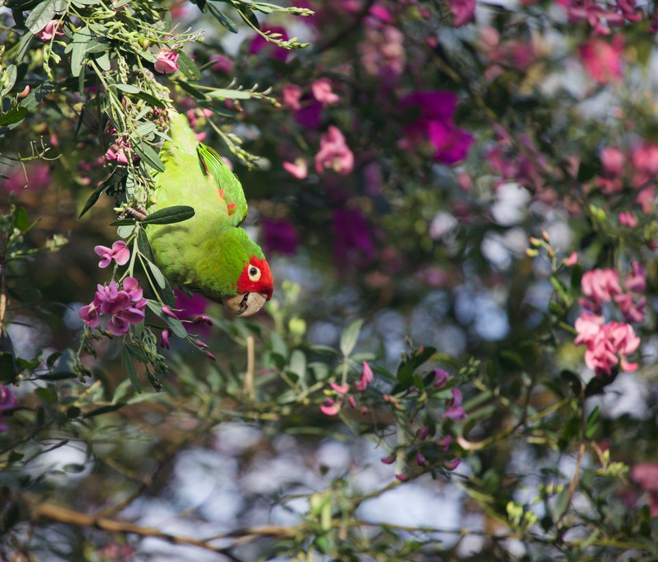 Red-masked conure hanging on a flowering tree.