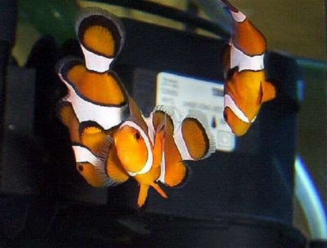 True and False Percula Clownfish
