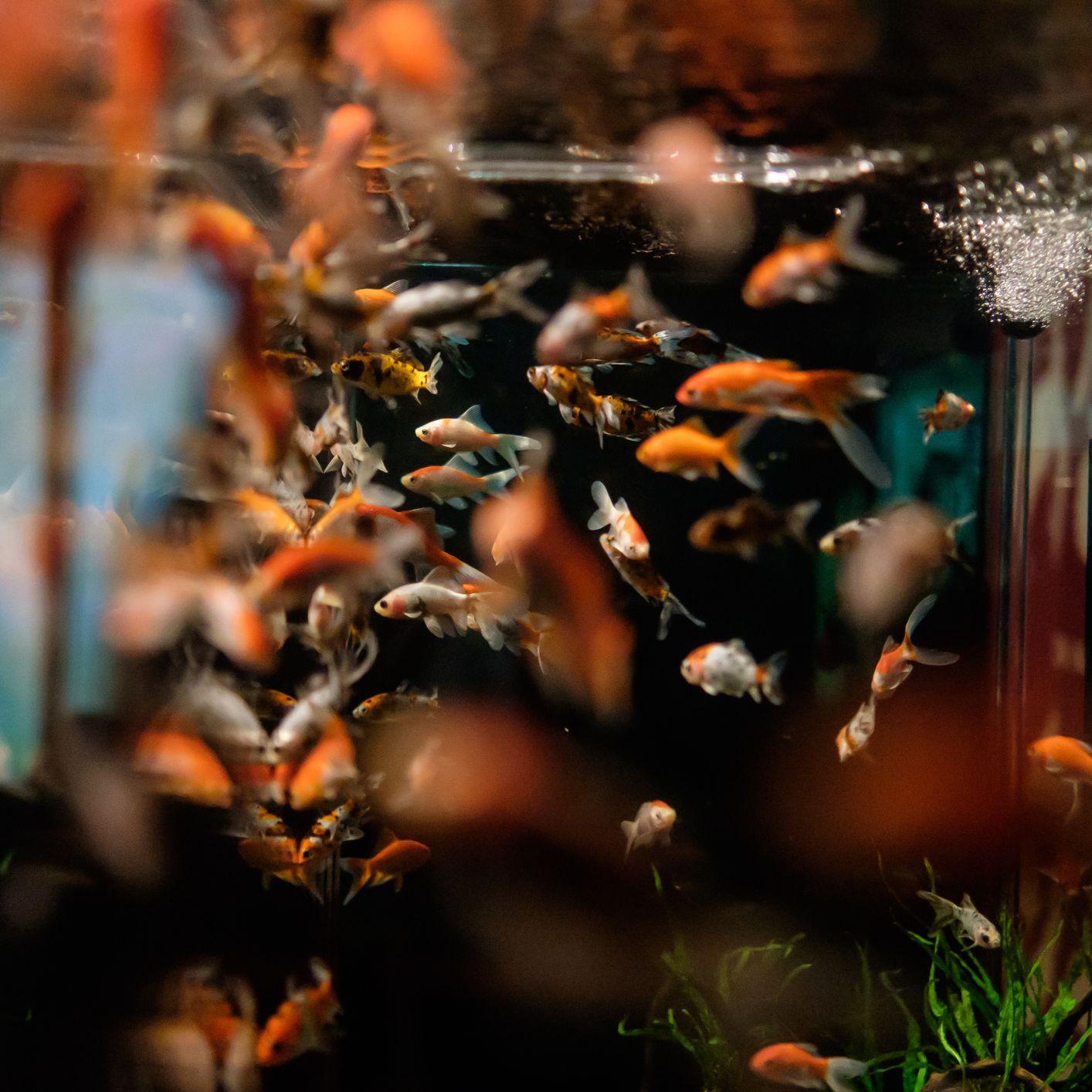 Breeding Aquarium Fish Basic Breeding Tips For Beginners