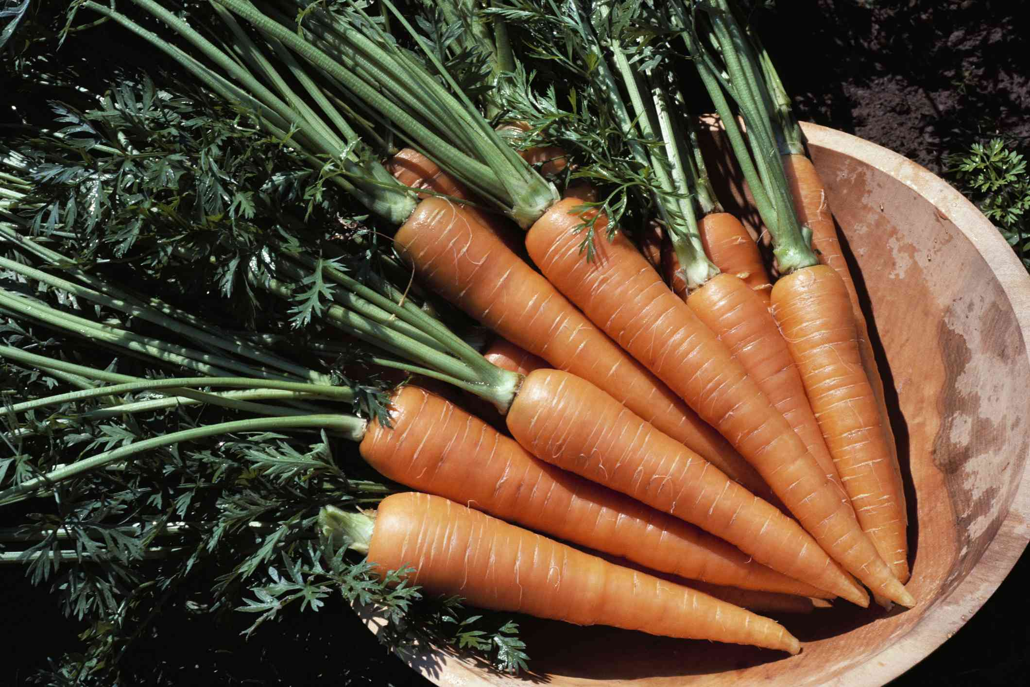 Bunch of carrots with tops in wooden bowl.