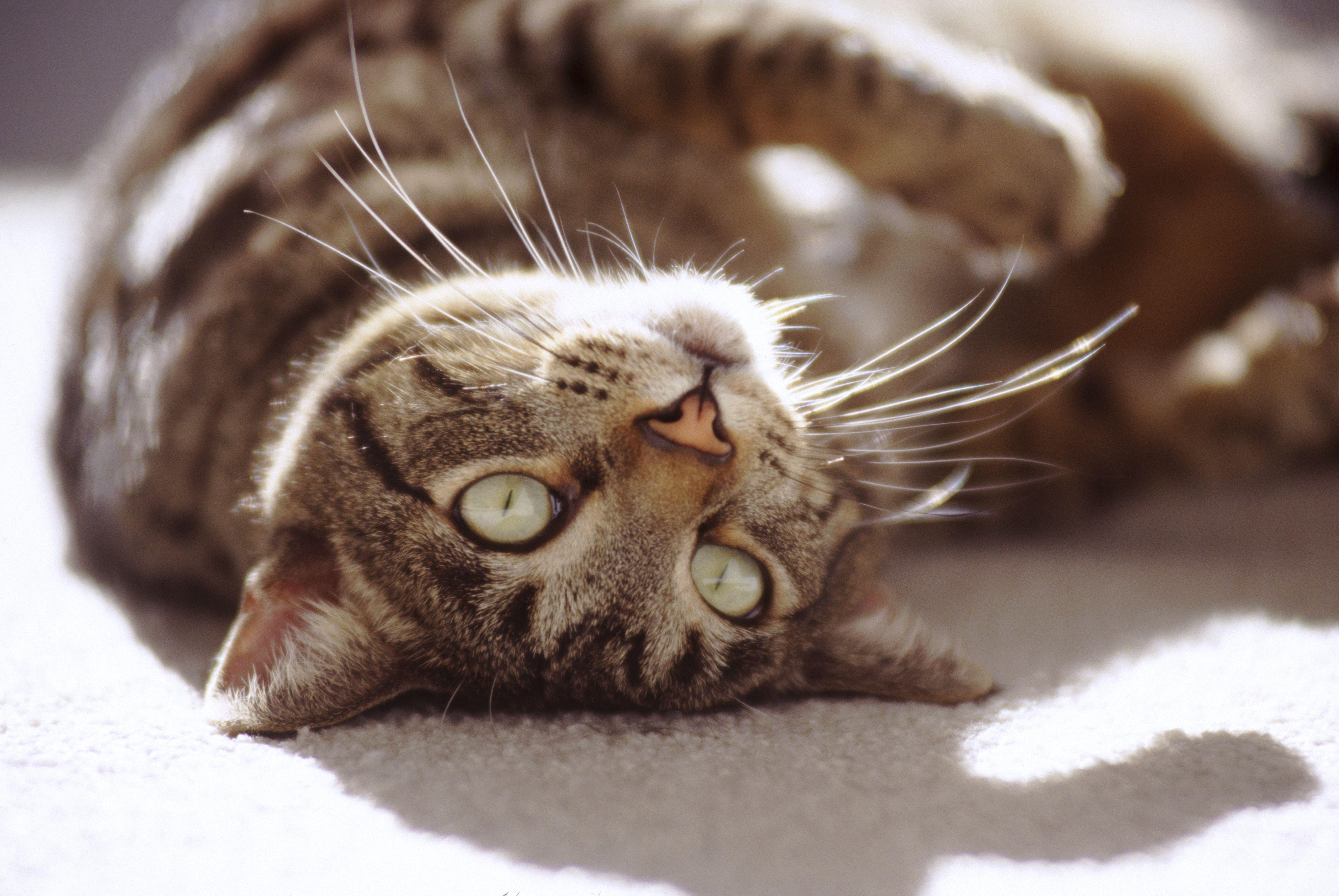 Gato atigrado de pelo corto americano tumbado al sol