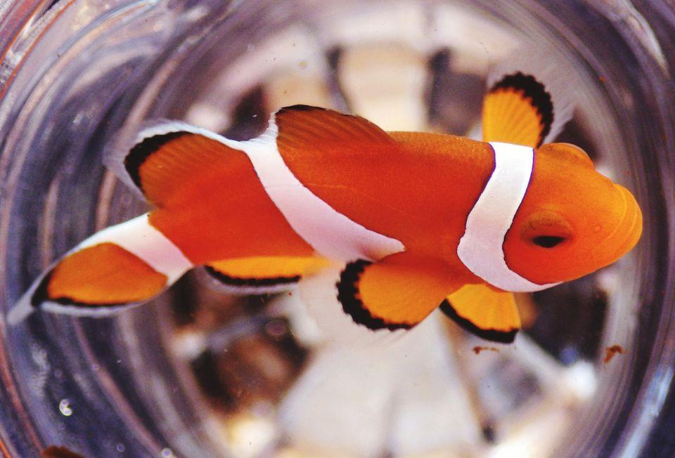 Primer plano de un pez payaso nadando en su contenedor
