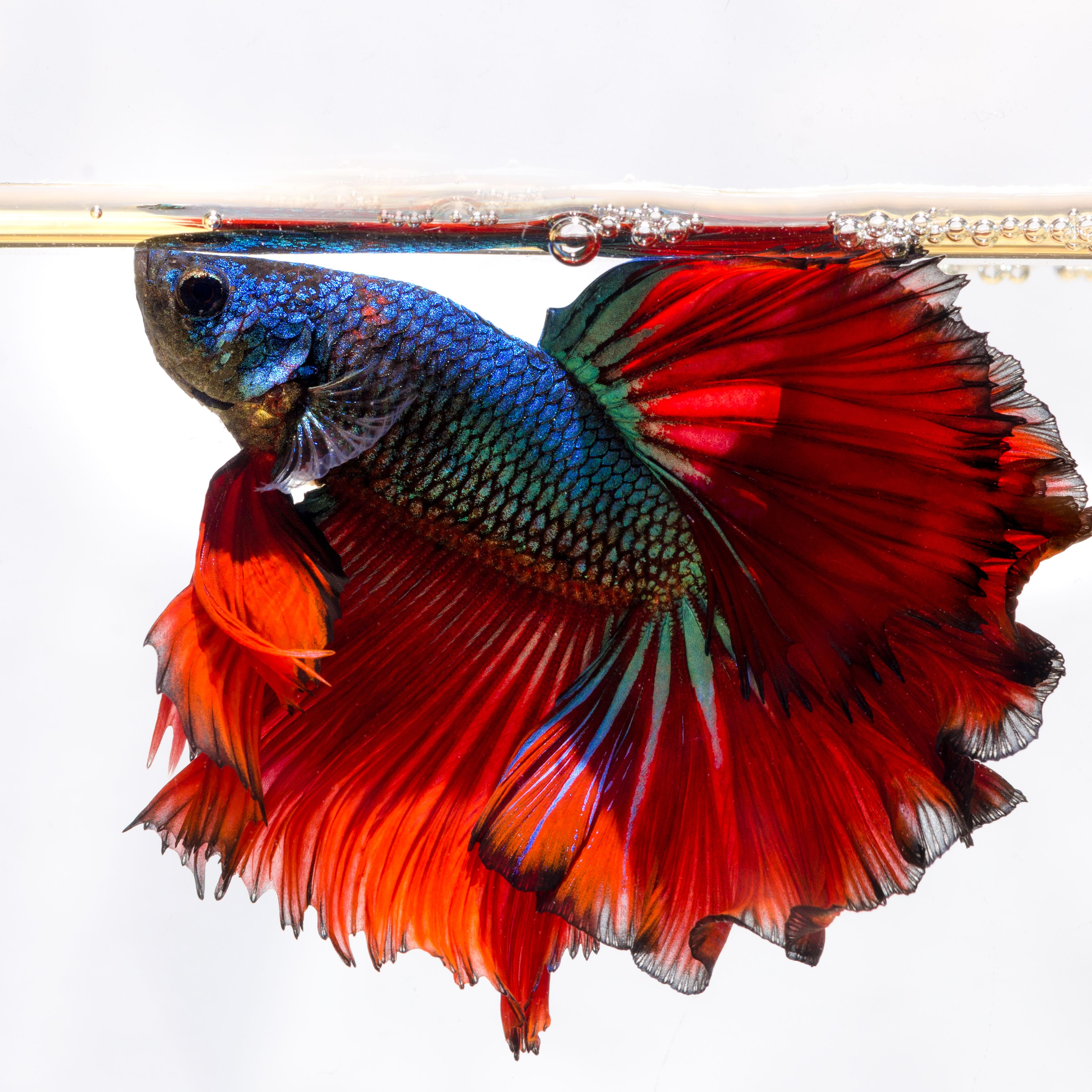 Commonly Asked Questions About Bettas