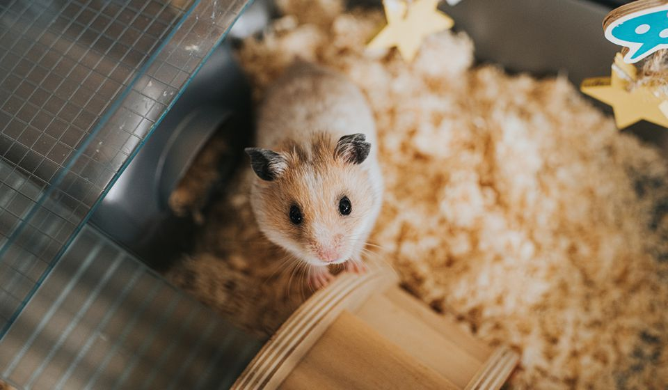 Pet hamster in cage