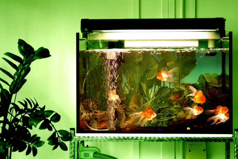 Goldfishes in tank