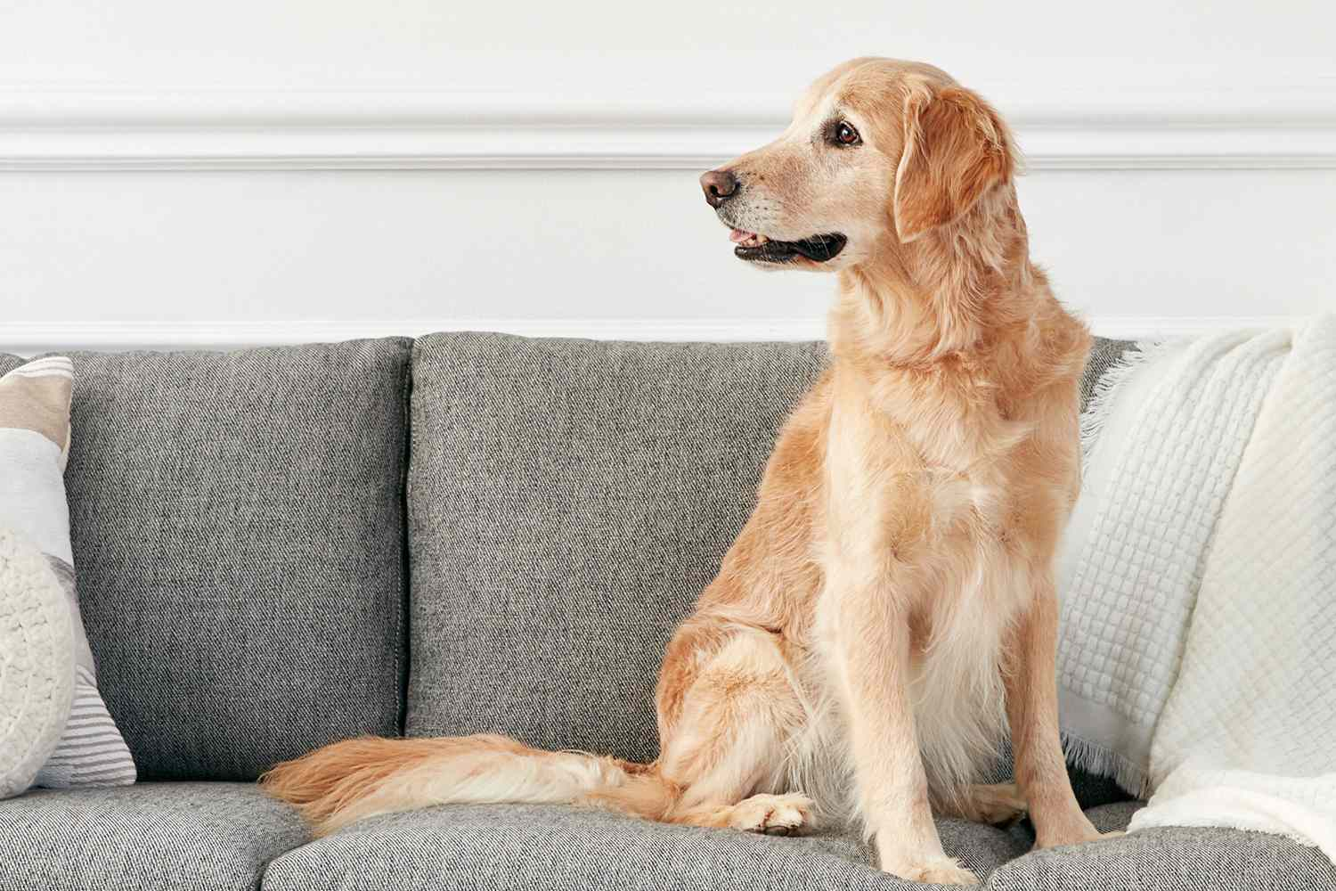 golden retriever on a sofa