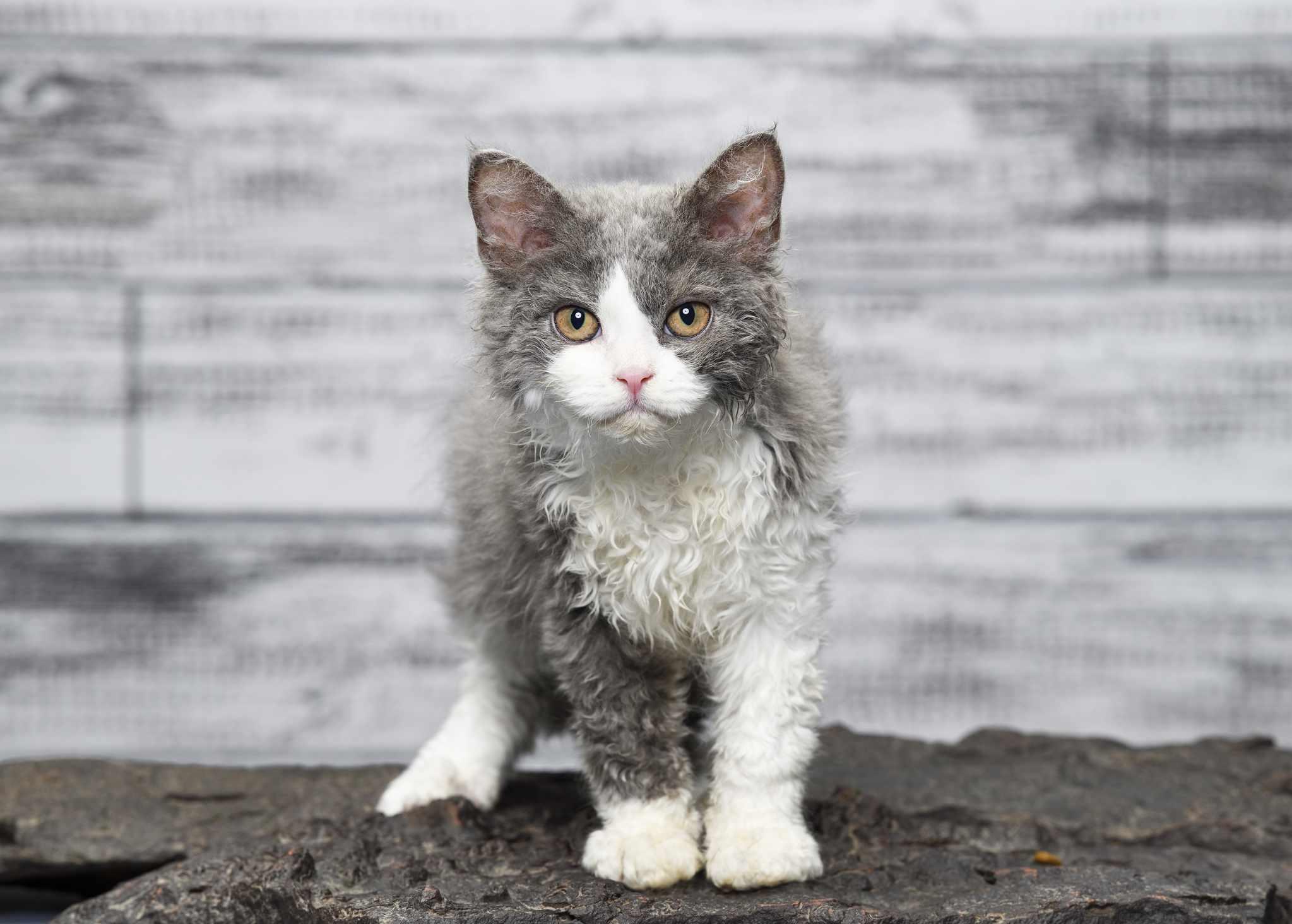 Selkirk Rex cat standing