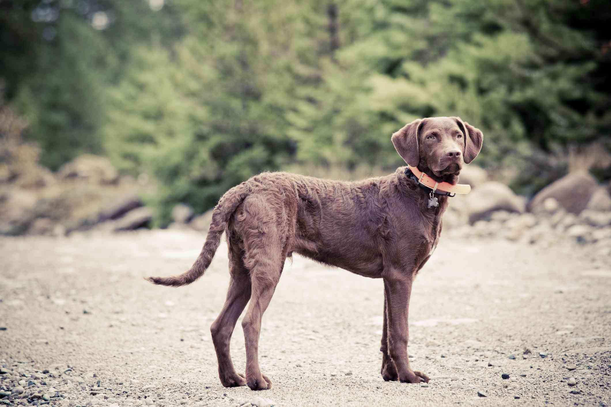 A Chesapeake Bay Retriever Puppy