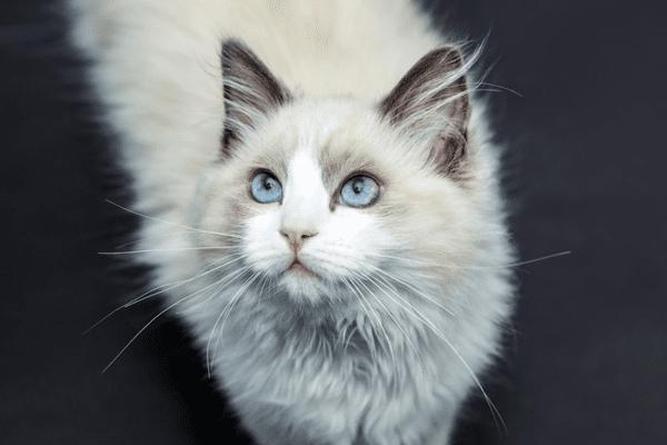 A ragdoll cat looking up.