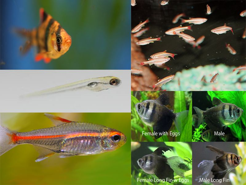 How to breed egg scatterer tropical fish