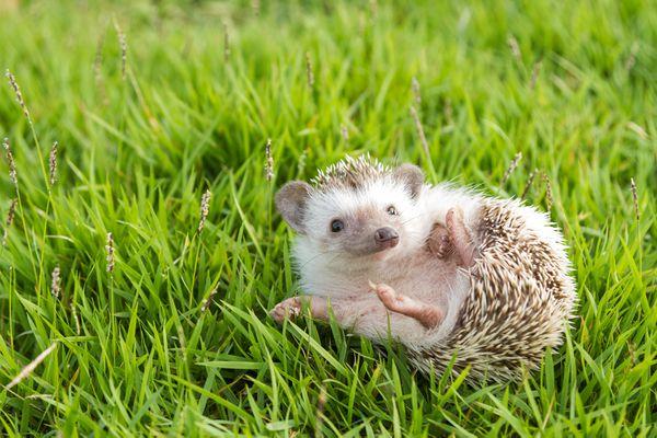 Hedgehog rolling in grass.