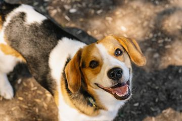 A beagle smiling and looking up