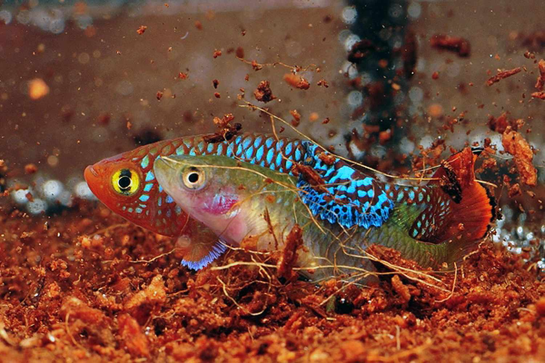 Two killifish swimming in an aquarium