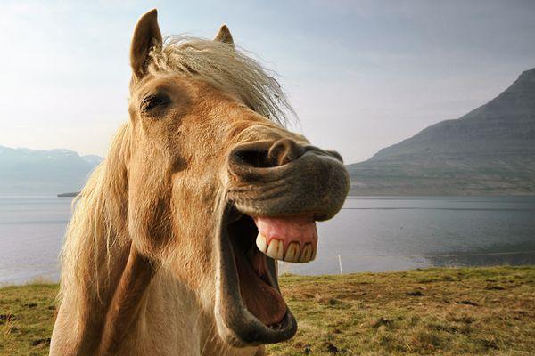 Portrait of Icelandic horse by lake