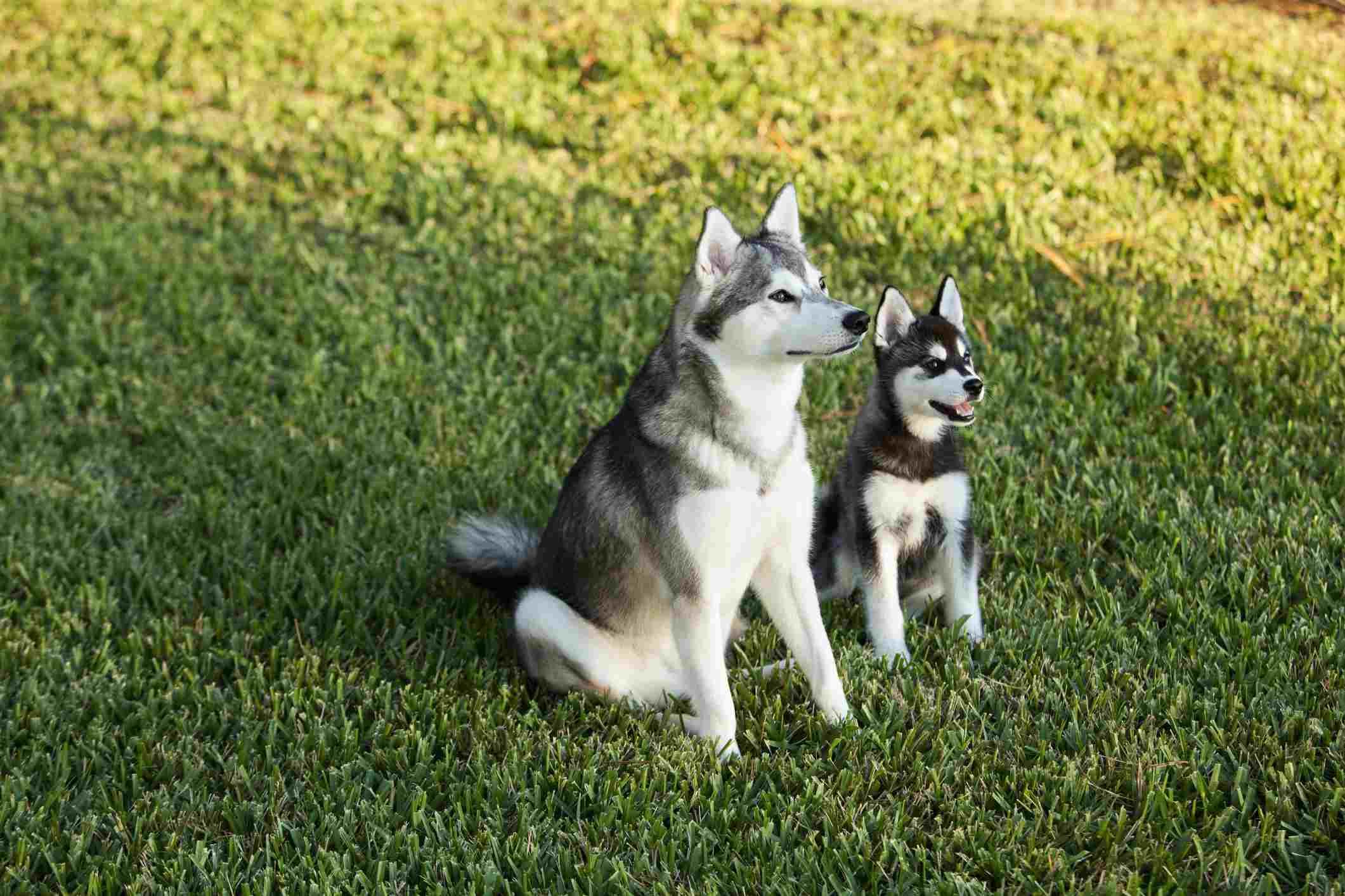 Alaskan Klee Kai dog and puppy