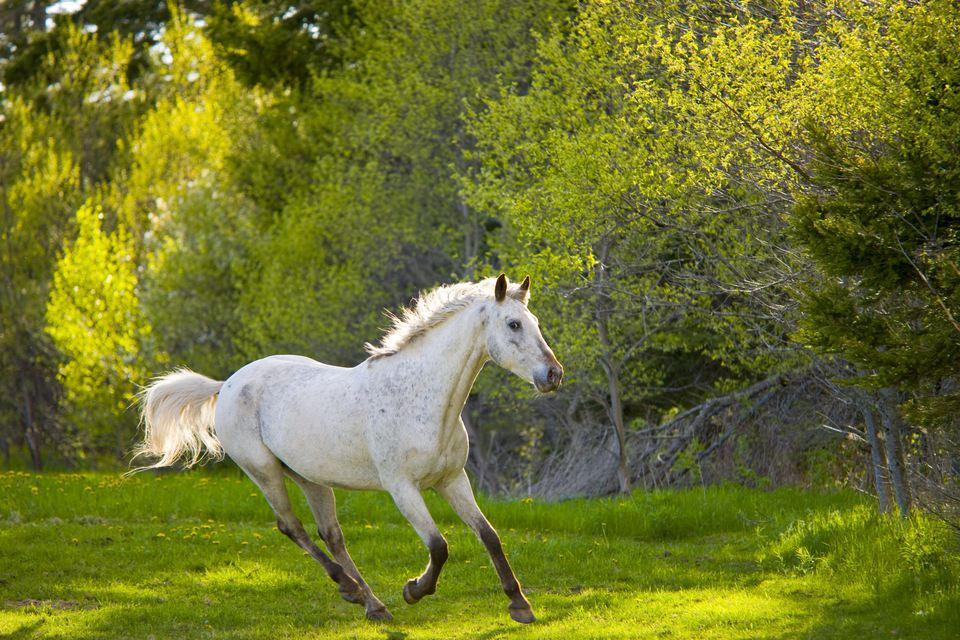 white horse in a field