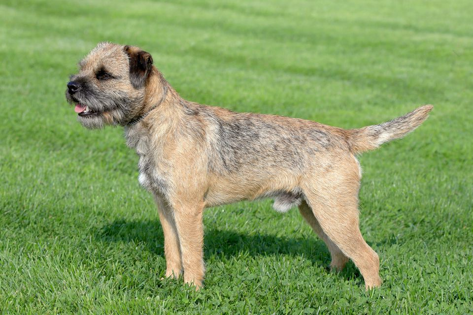 Border Terrier standing on grass