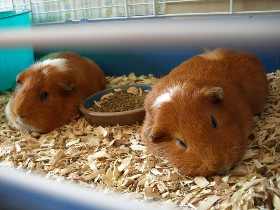 Guinea pigs in a cage on wood shavings