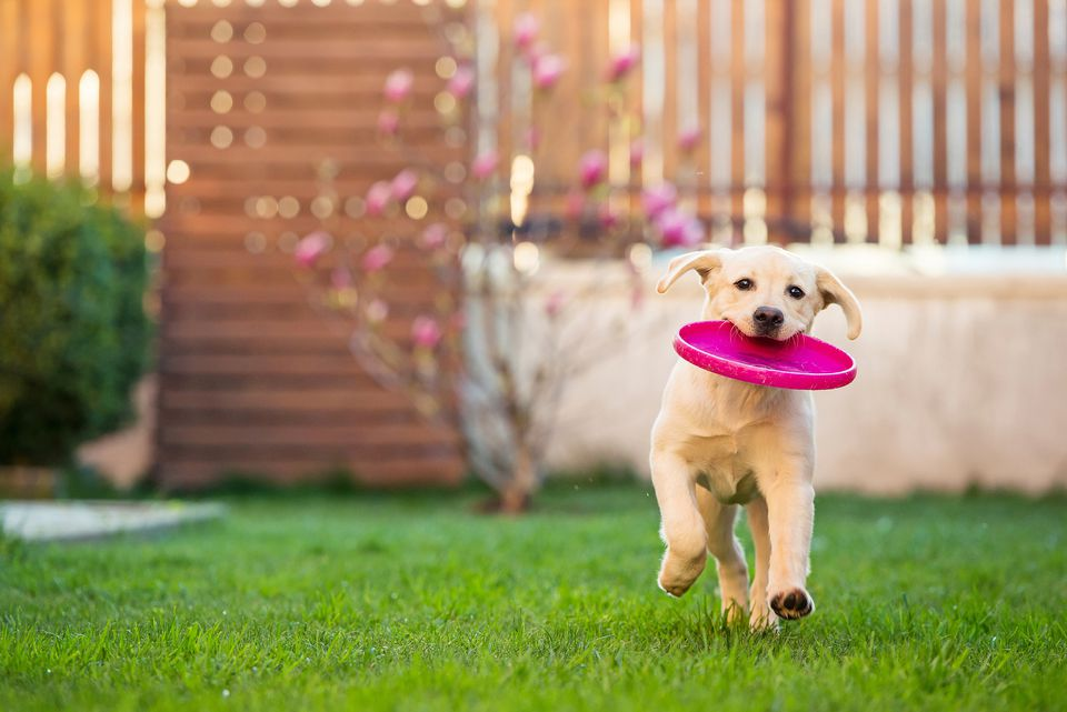Labrador Running With Frisbee