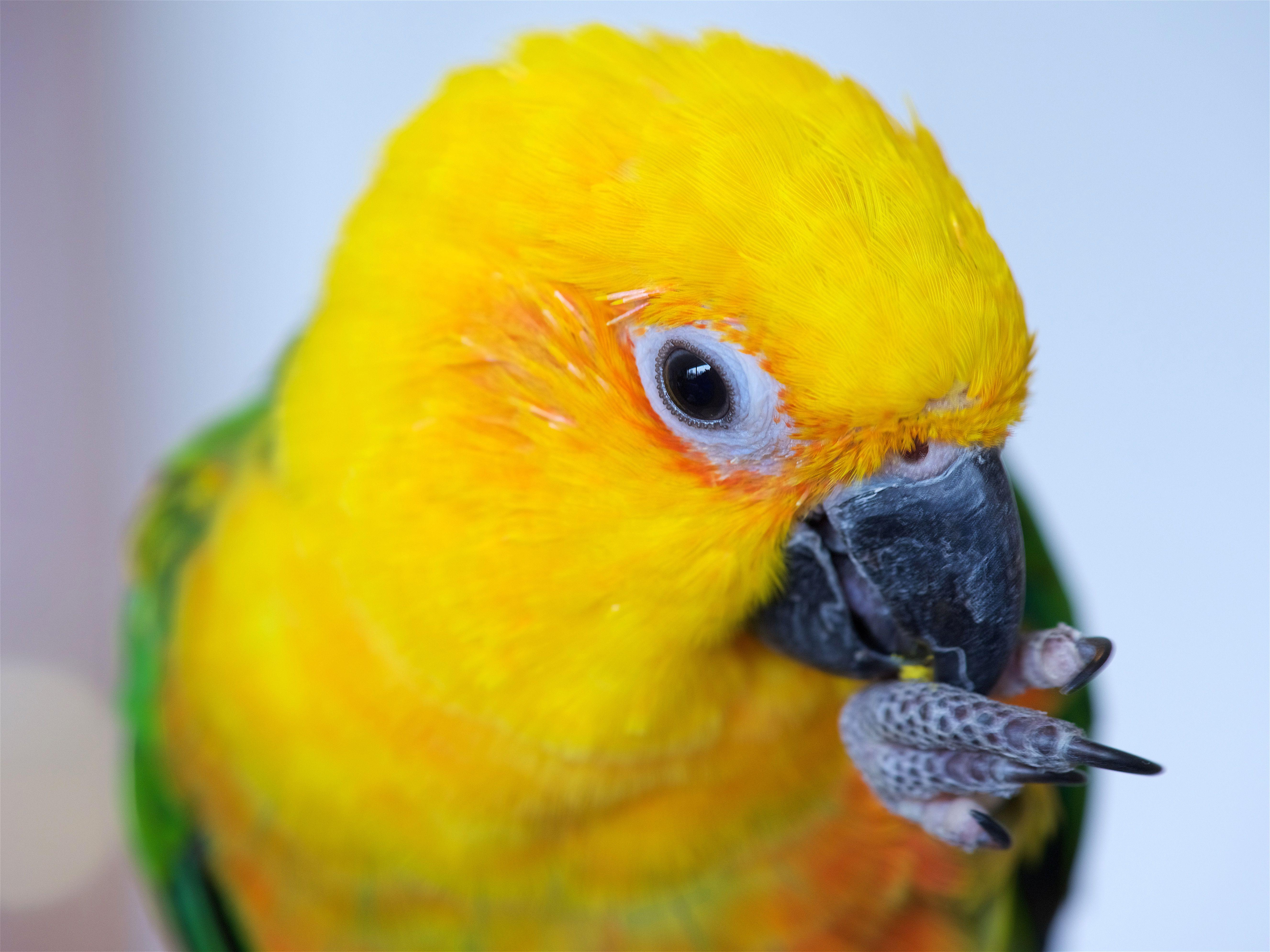 Close up of a pet parakeet
