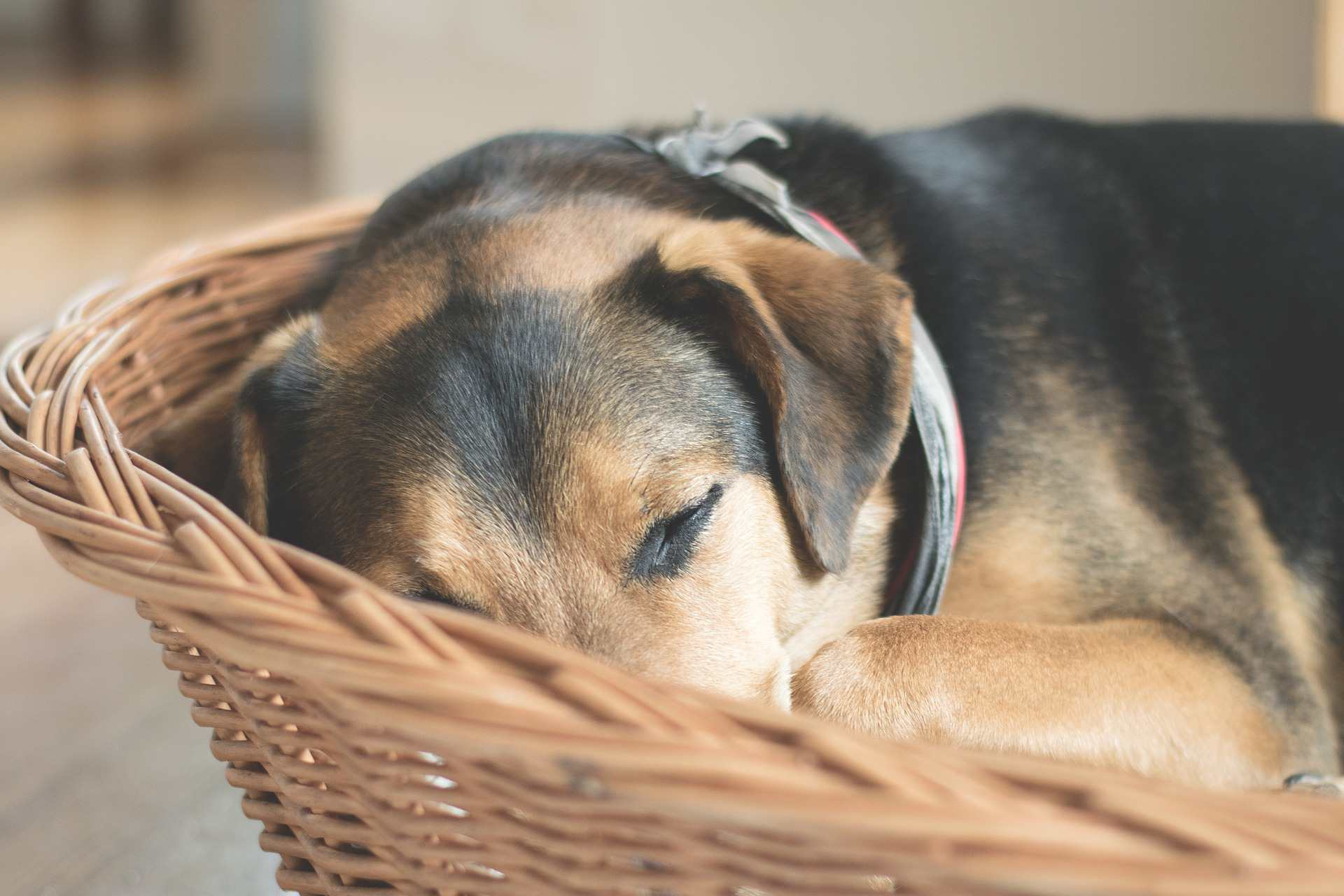 Dog curled up sleeping in a basket