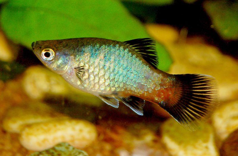 Rainbow wagtail