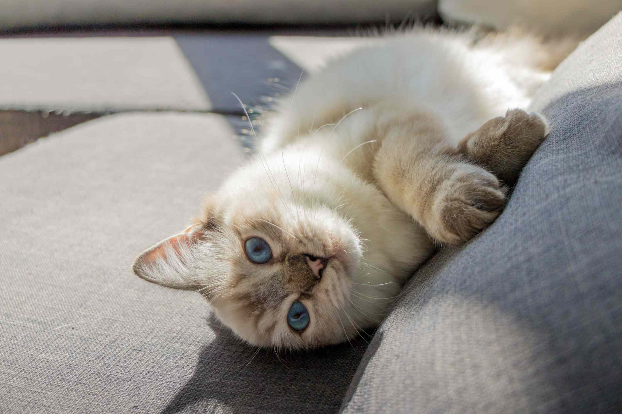 Ragdoll cat lying on a sofa