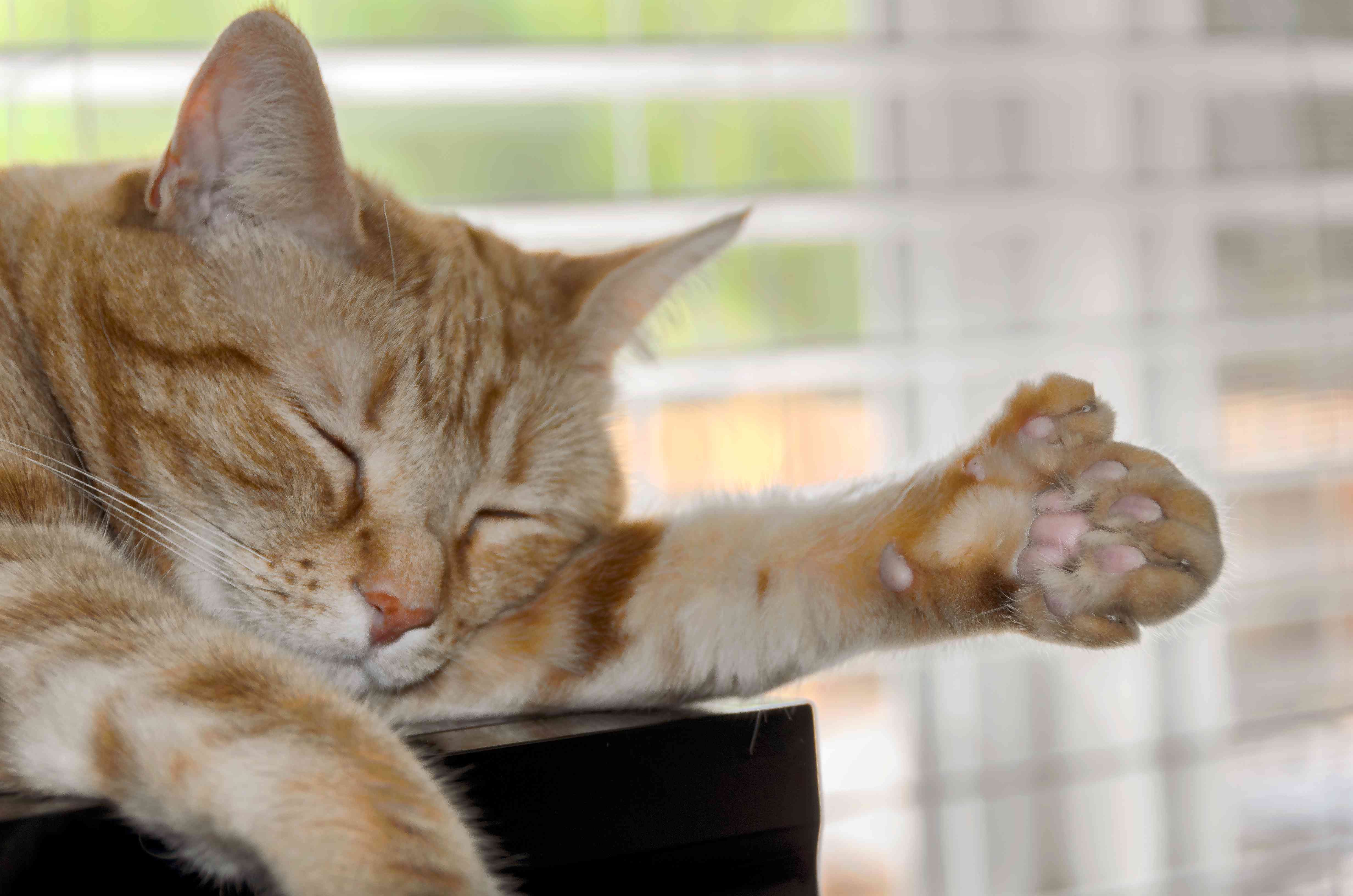 polydactyl cat extra toes