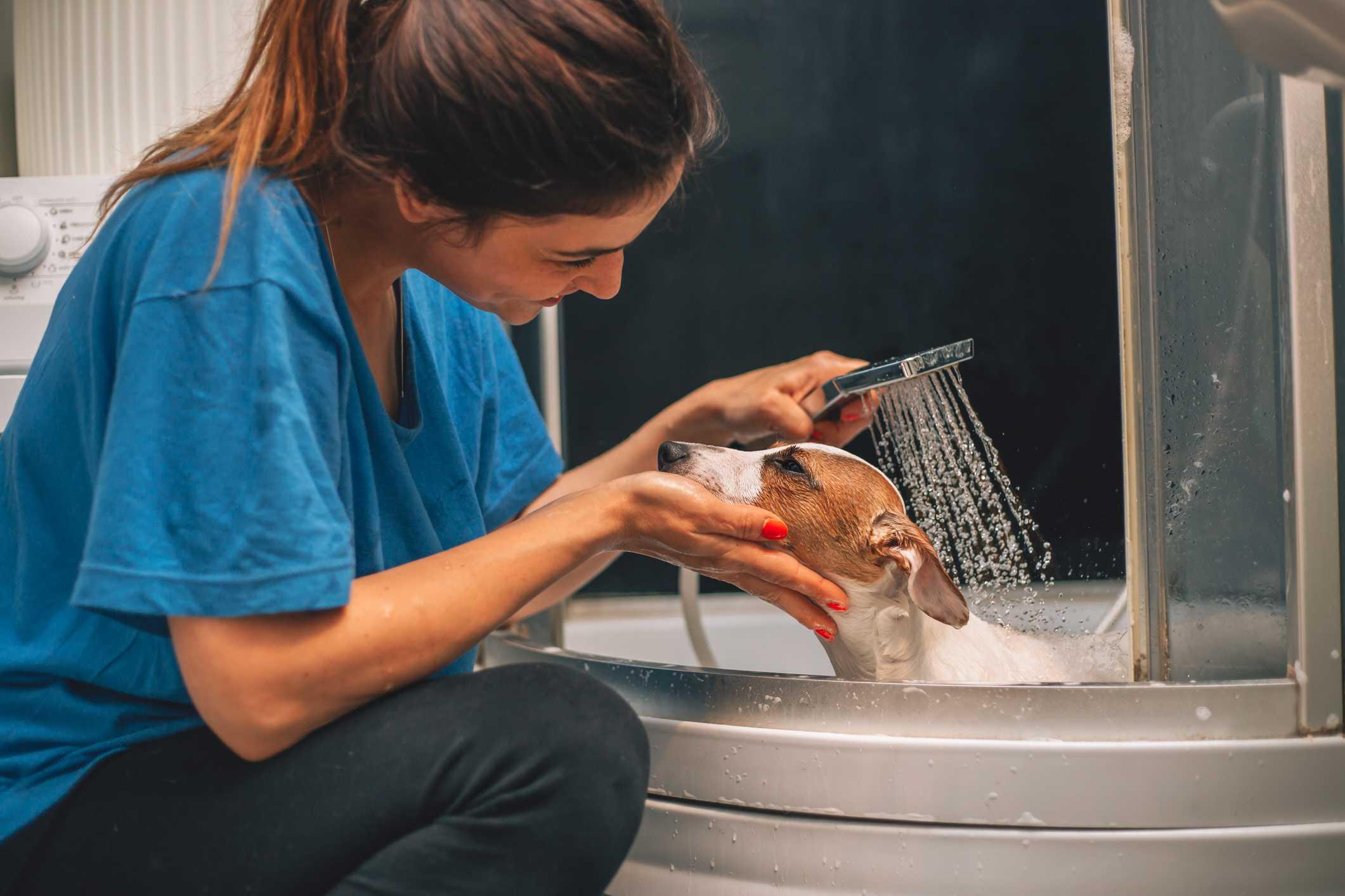Mujer lavado jack russell terrier perro