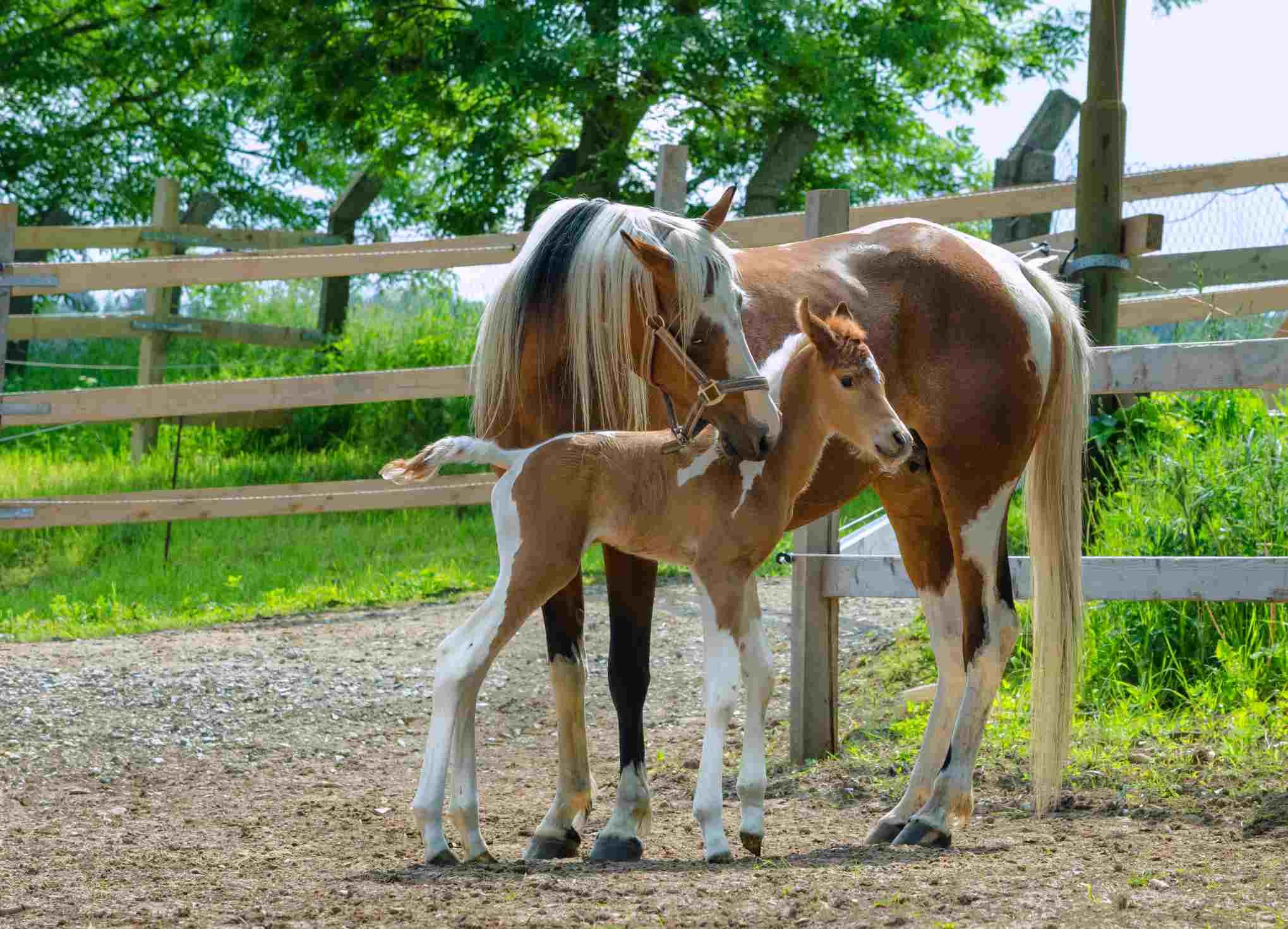 Pinto Arabian horses - yegua y potro recién nacido