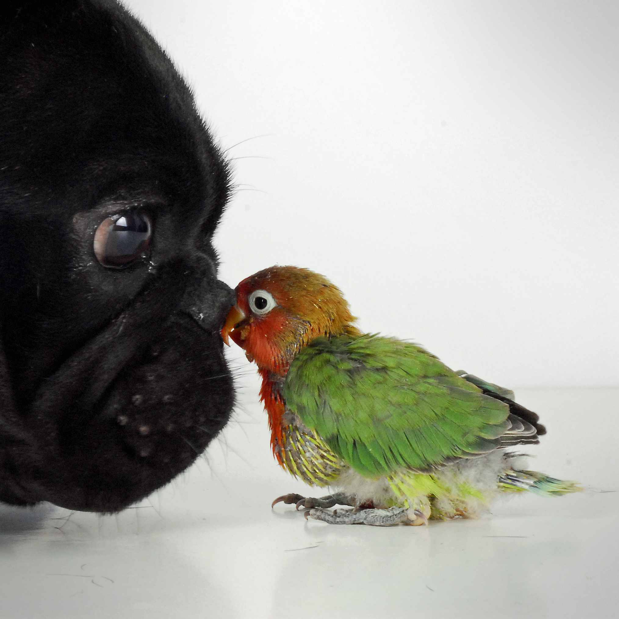 French bulldog and lovebird
