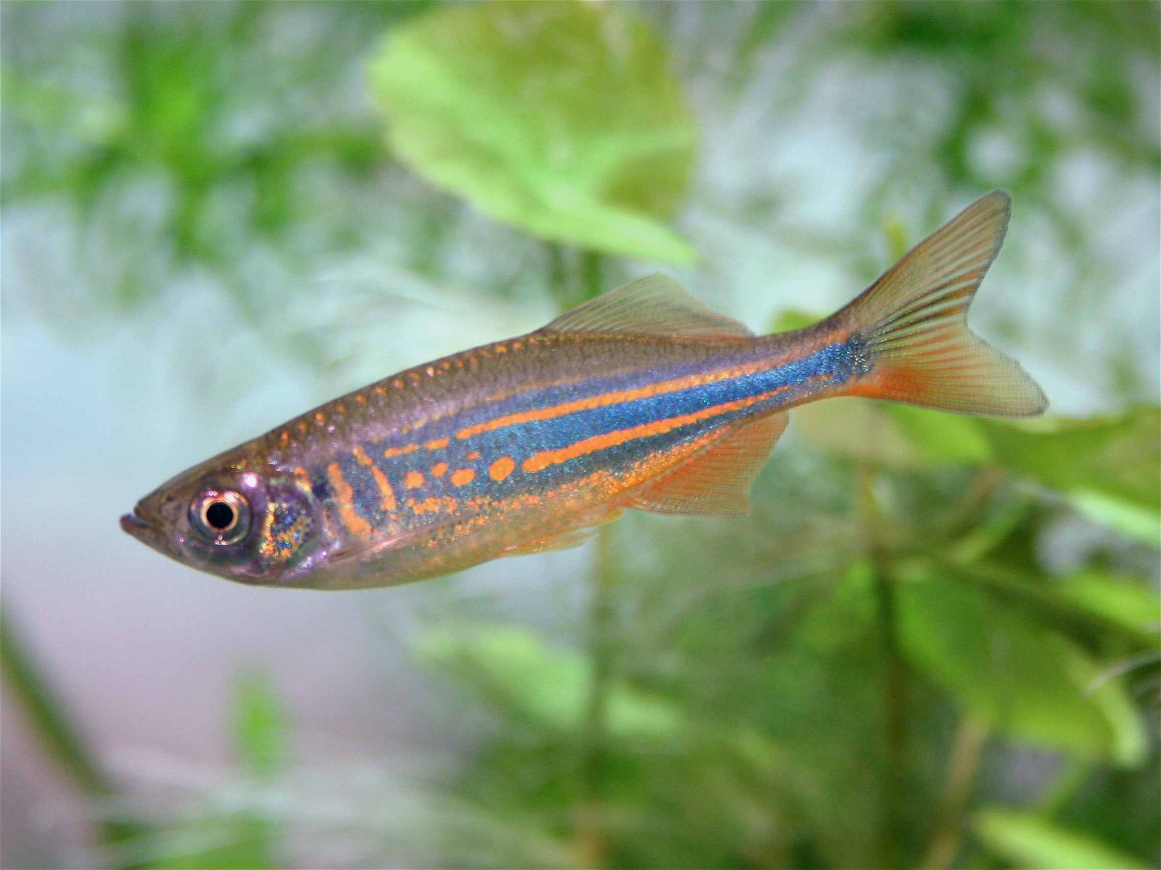 Choosing A Danio Species For Your Aquarium