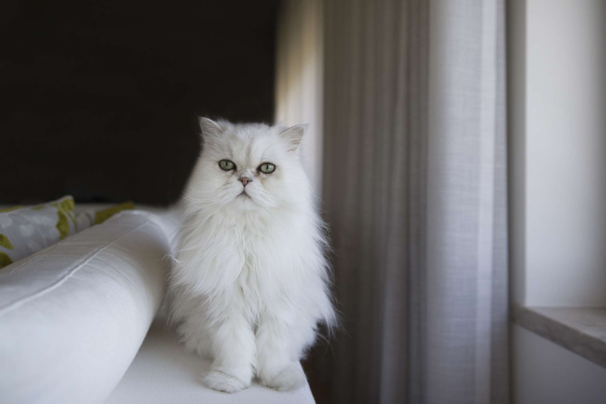 A white, fluffy Persian cat sitting on the end of a white couch.