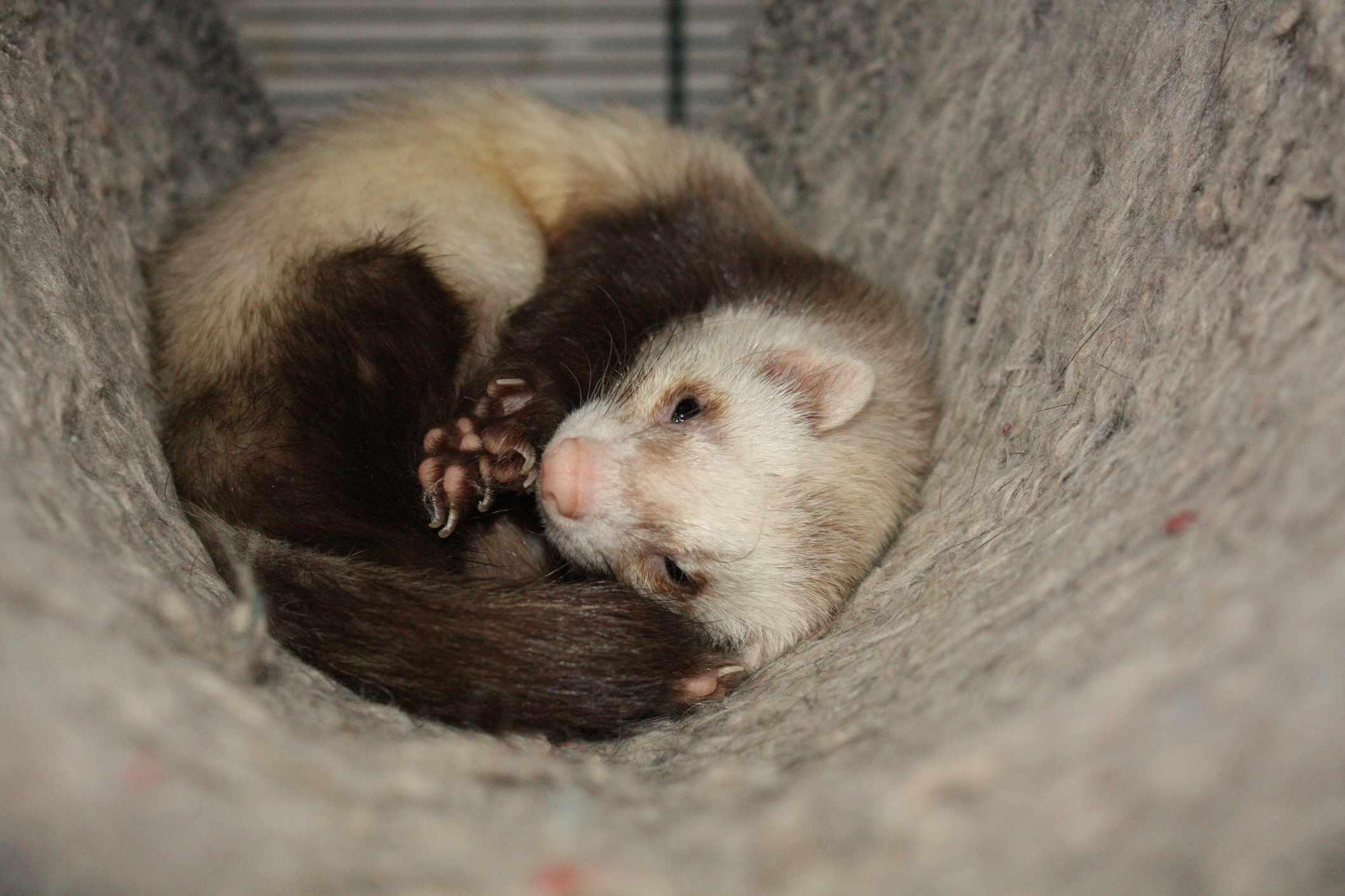 Ferret curled up