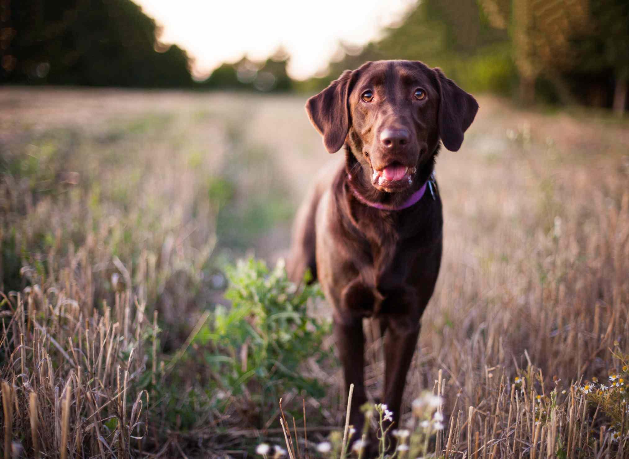 A chocolate Labrador Retriever outdoors