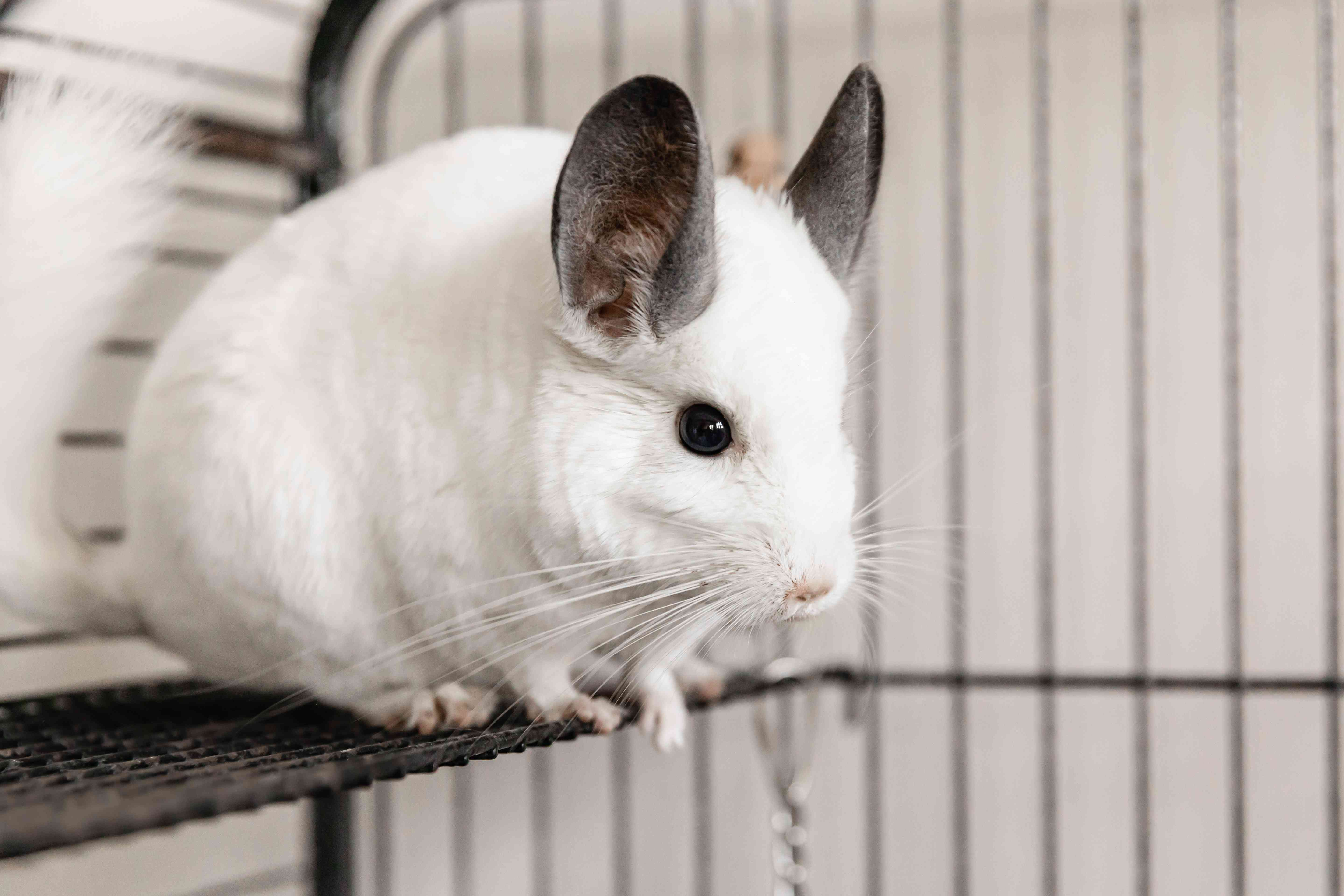 White chinchilla with large gray ears sitting on metal perch inside cage