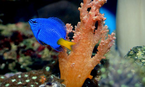 Yellow Tail Damselfish (Chrysiptera parasema)