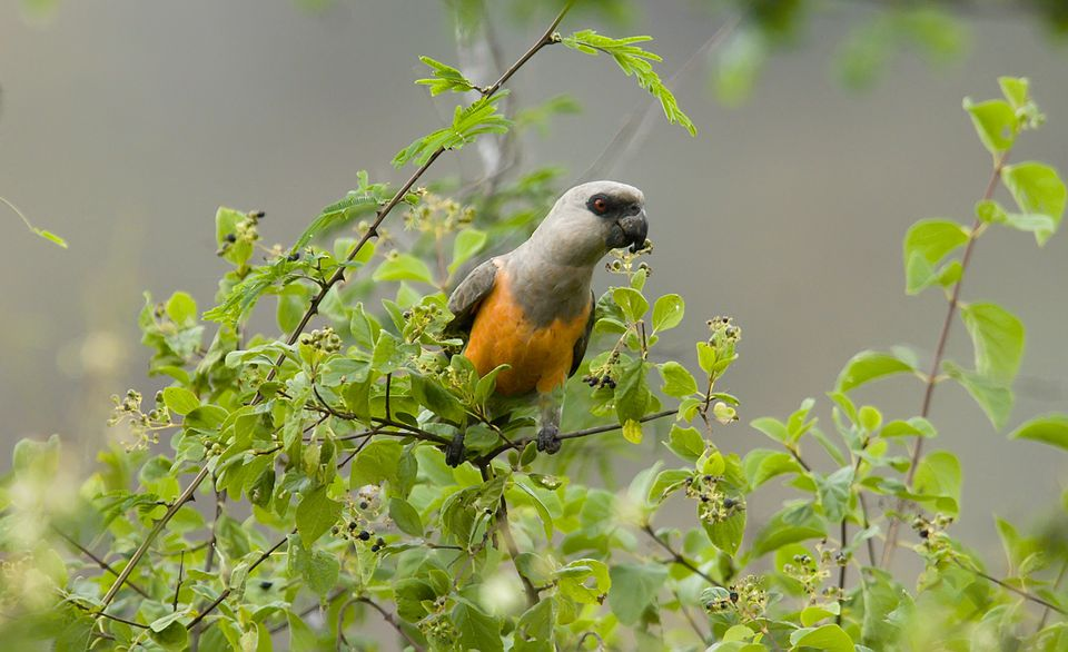 Male red-bellied parrot perched in a tree.