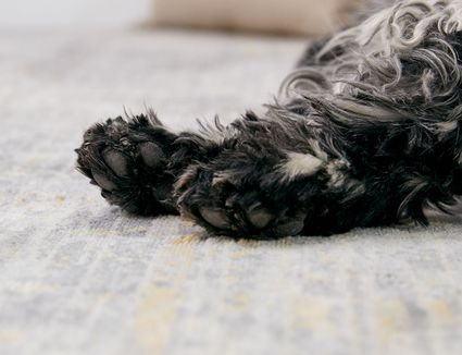 closeup of dog's paws. original asset, do not change
