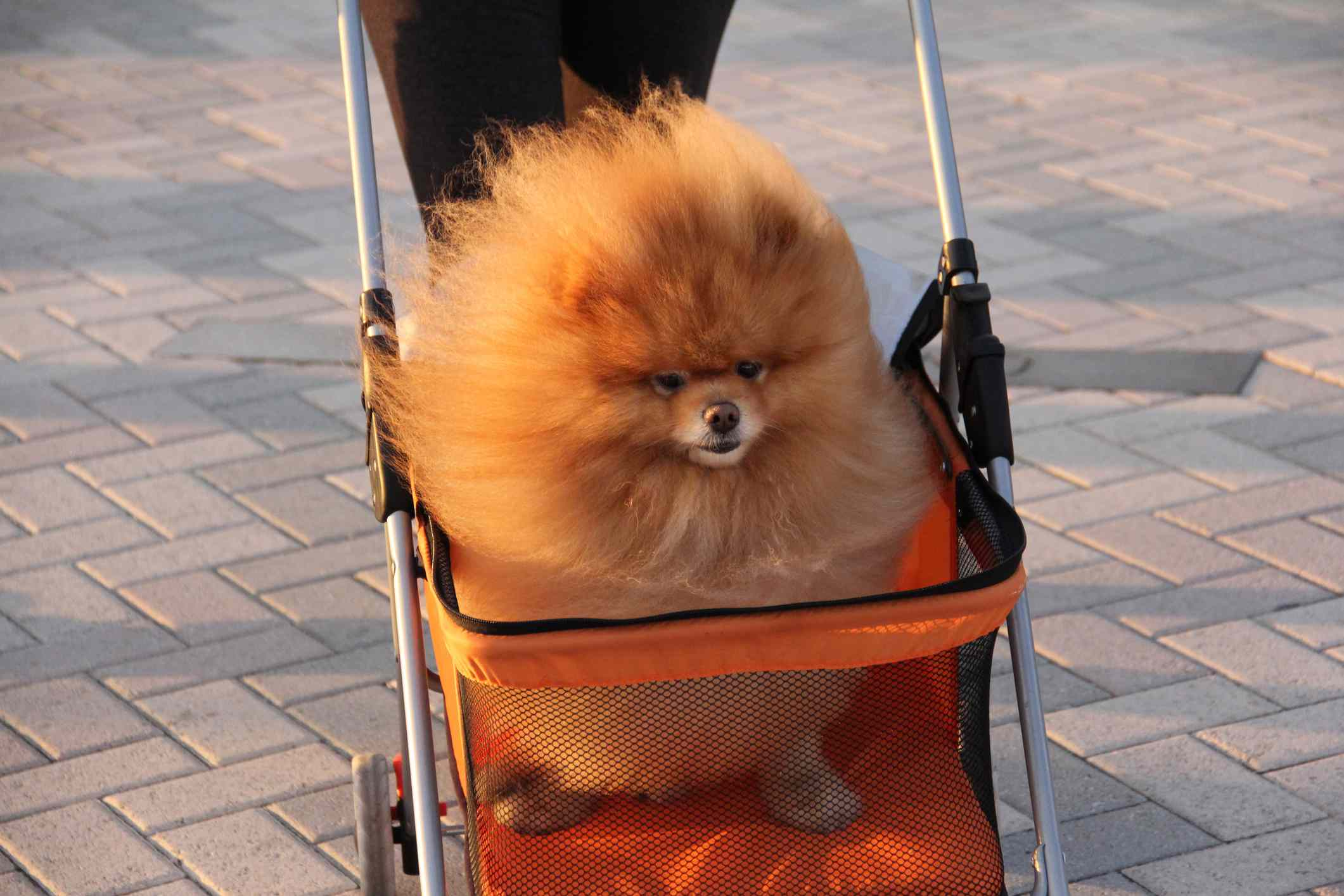 Red Pomeranian in dog stroller