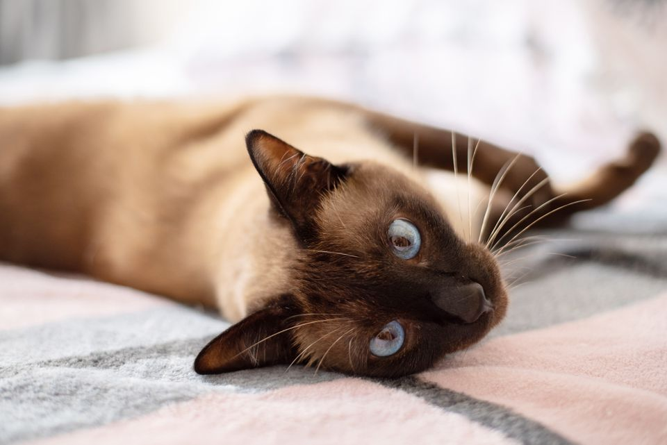 Siamese cat with blue eyes laying on gray and pink blanket