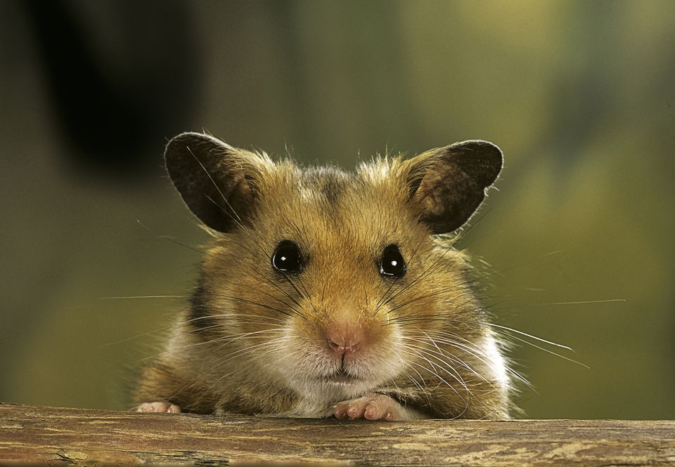 A close-up of a golden hamster