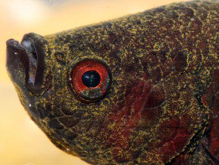 Aquarium Fish Disease Velvet