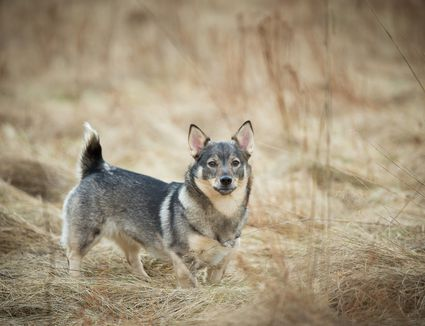 Portrait Of Swedish Vallhund Standing On Field
