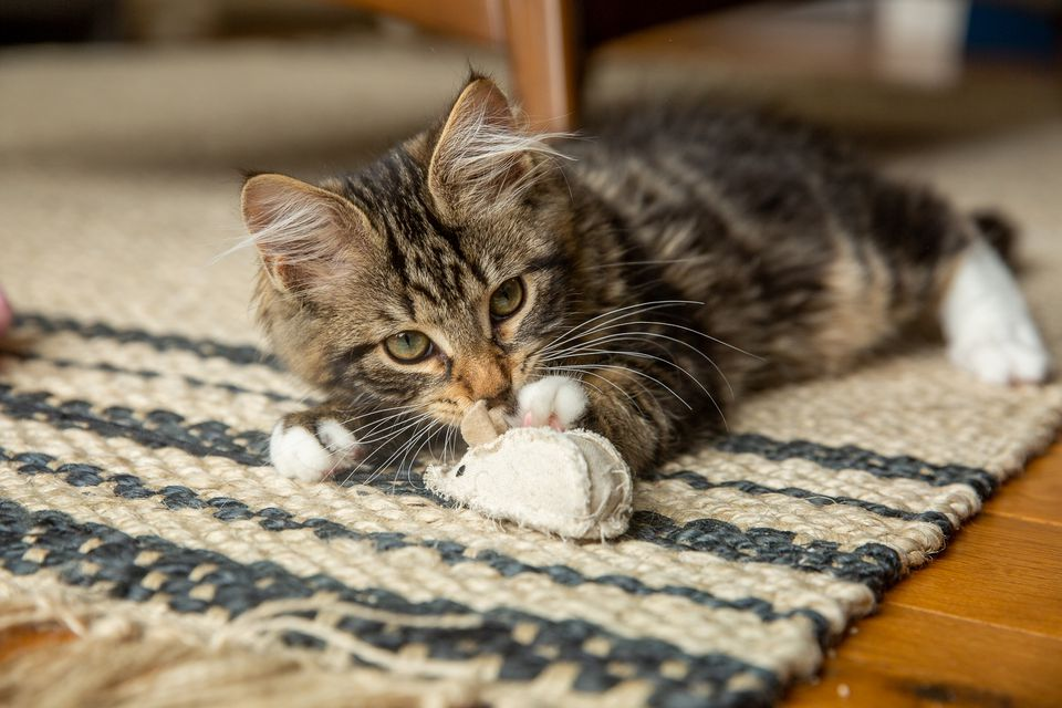 Brown and tan kitten laying on rug and playing with small mouse toy